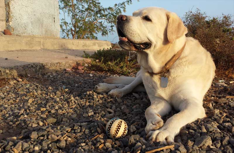 Labrador Retriever Tonko