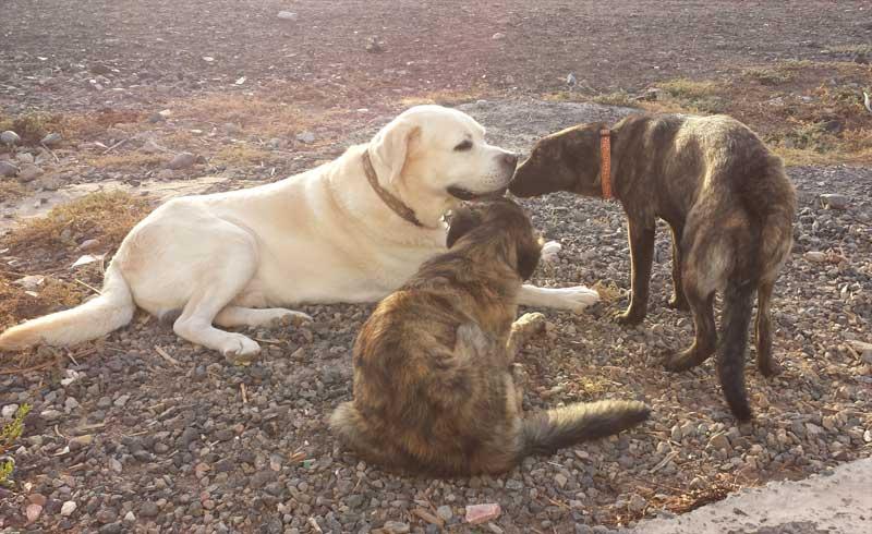 Labrador Tonko mit Hundekumpels